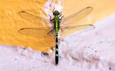La libellule : animal totem du changement